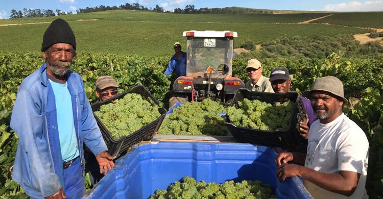 Sauvignon Blanc Harvest 2019